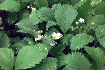 I've let wild strawberry grow wild! It's easy to do. This is an aggressive ground cover but I love its delicate white blooms come spring. Many birds, especially the Robins I've observed, like the berries. I do, too, if I can pick a few quick enough.