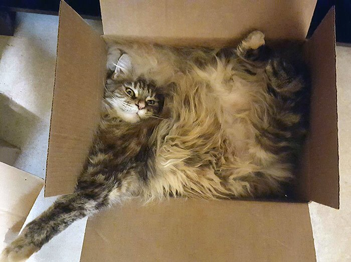 Maine Coon Cats Funny Little Tigers 43 Photos Viraler