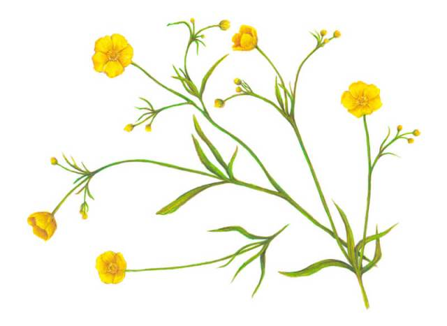 Botanical illustration of buttercup flowers with colored pencils and markers