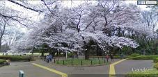 Blossom Tree, Tokyo, Japan