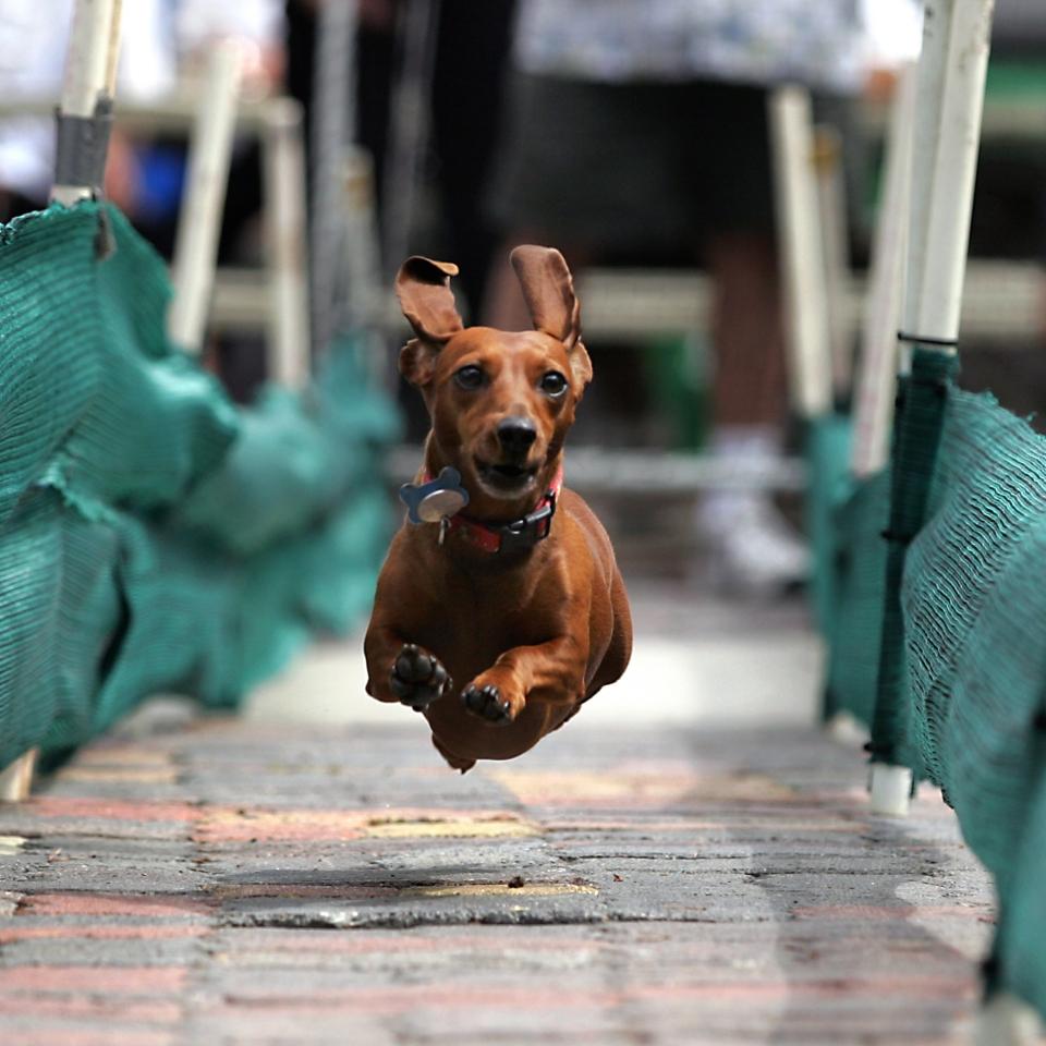 HB_Dog Races (1)