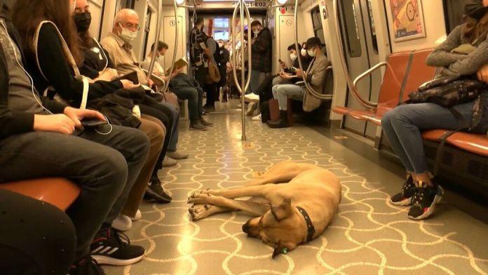 Boji, Street dog
