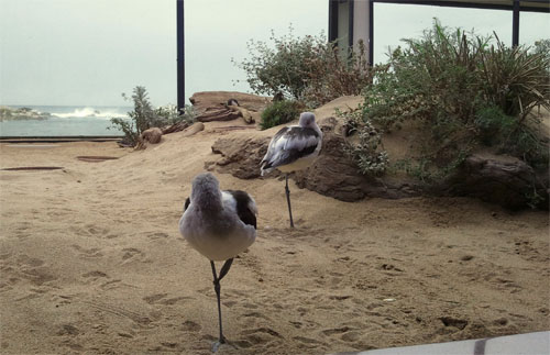 photo of avocets