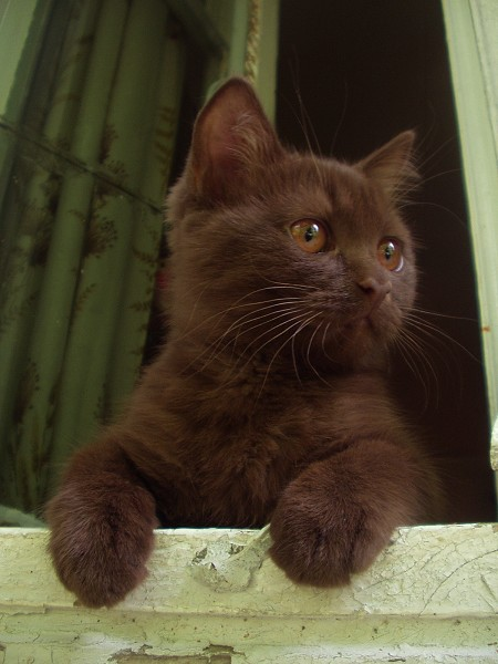 image of a black kitten looking out a window