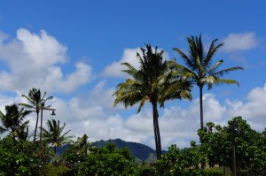 Kauai Palm Trees