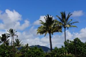 Kauai Palm Trees
