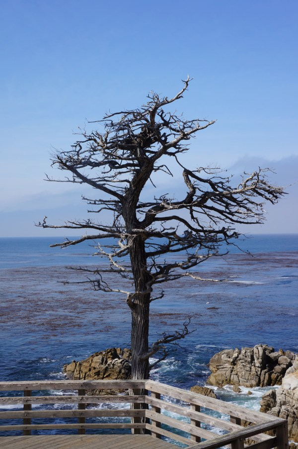 tree on 17-Mile Drive