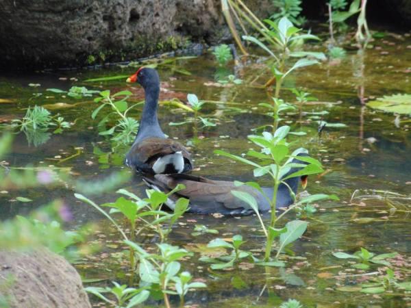 waimea valley falls oahu hawaii north shore duck in the water