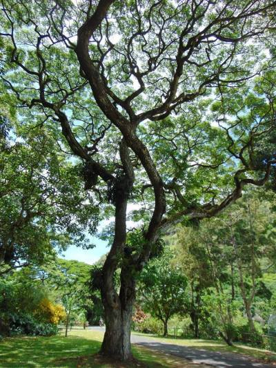 tree at waimea valley falls oahu hawaii north shore
