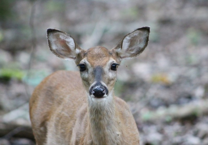 fawn deer face dunbar cave state park clarksville tennessee