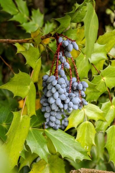 berries leatherleaf mahonia