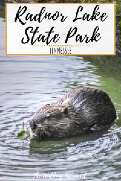 radnor lake state park nashville tennessee beaver eating a leaf