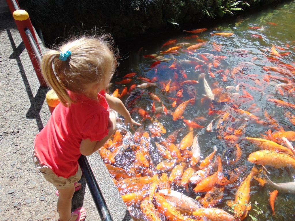 A girl feeding Koi fishes at the Byodo In Temple at Oahu. Posted on a travel guide that features the best things to do with kids on Oahu, Hawaii.