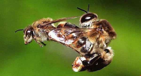 Bee Sex!