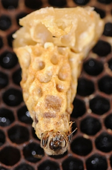 Queen emerging from cell