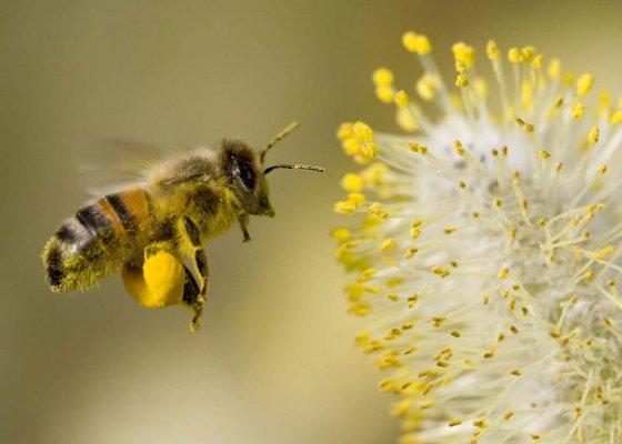 Honey Bee collecting pollen from willow