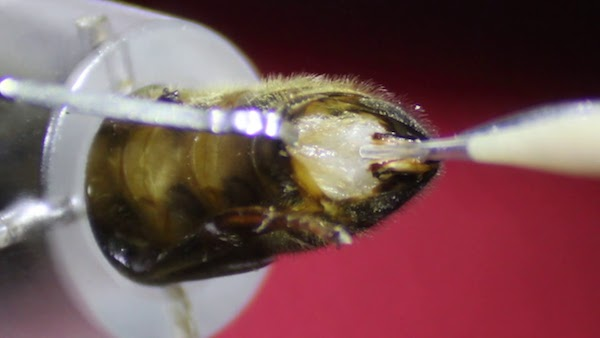 Glass tip (right) inseminating a queen bee