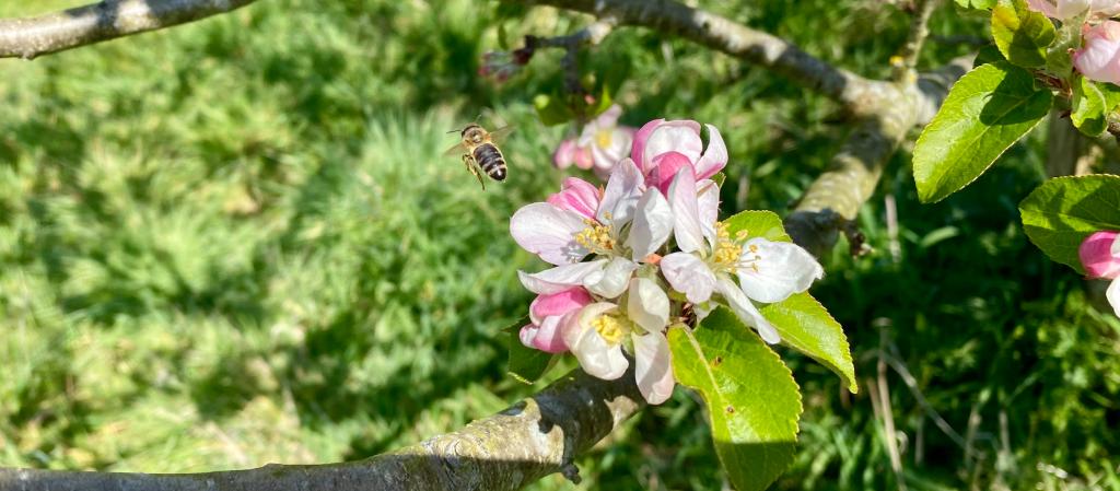 Honey bee and apple blossom