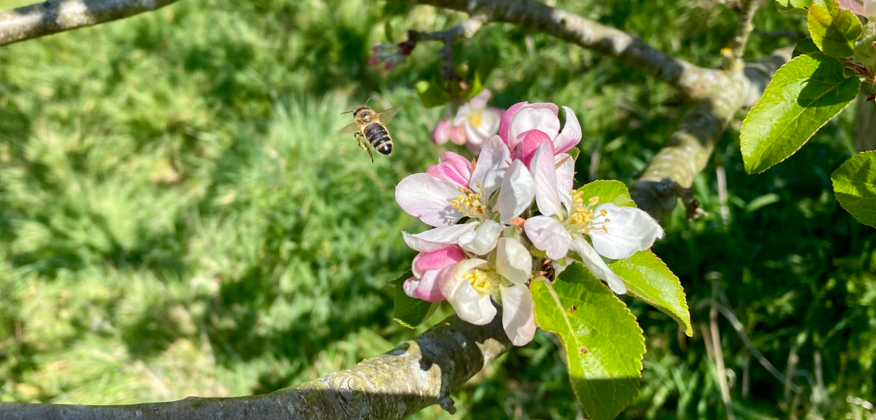 Honey bee and apple blossom