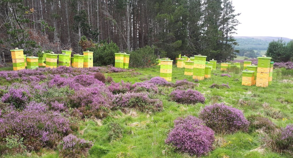 Hives placed near heather