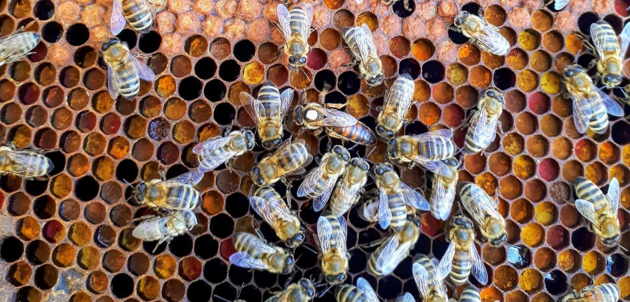 Queen Bee on comb