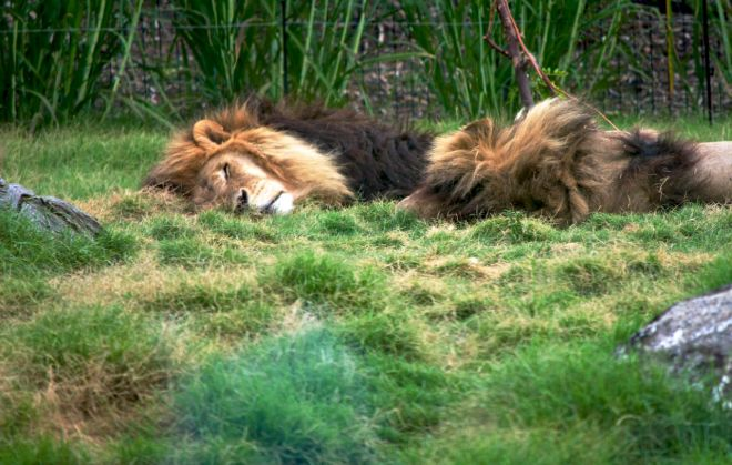Lions at Melbourne Zoo