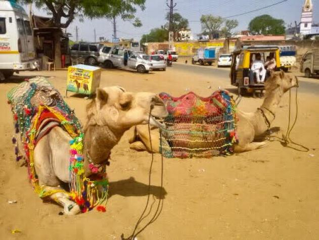 things to do in Pushkar | pushkar-camels