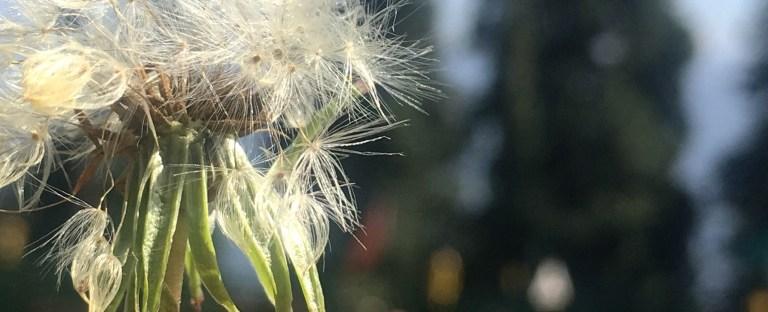 Dandelion in Narkanda Himachal Pradesh India