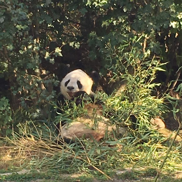 Places to visit in Vienna in 2 days | Panda at Tiergarten Schonbrunn - Zoo