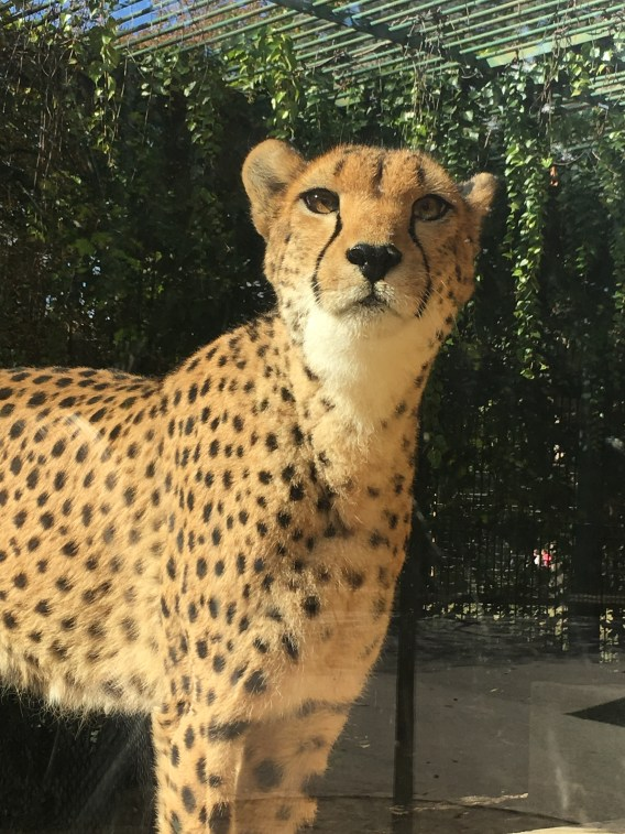 Places to visit in Vienna in 2 days | Leopard at Tiergarten Schonbrunn - Zoo