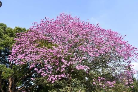 Cubbon Park Pink flower tree