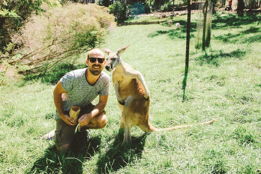Adelaide Hills   Kangaroo   Cleland Wildlife Park