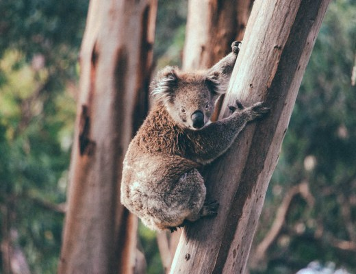 Great Ocean Road | Victoria | Australia | Koala | Kennett River