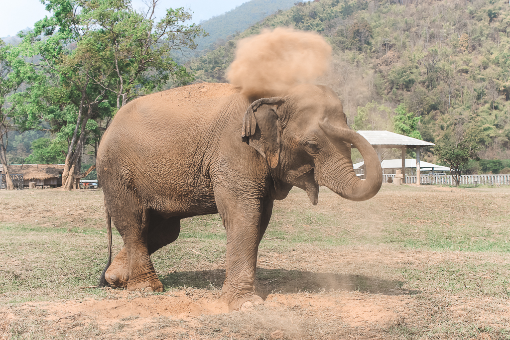Olifant die zand over kop strooit in Elephant Nature Park in Chiang Mai.