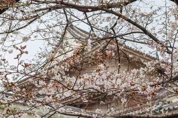 Osaka Castle Cherry Blossom in Spring