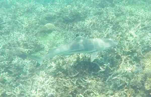 Perhentian Small Kecil Island Travel Guide sharks