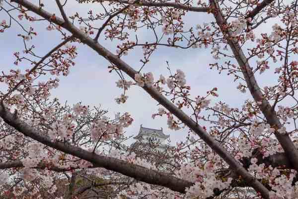 Visiting Himeji Castle Cherry Blossom