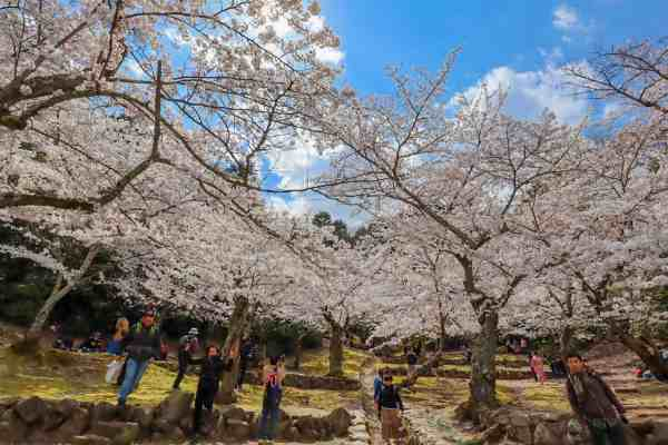 Miyajima island cherry blossoms in bloom japan
