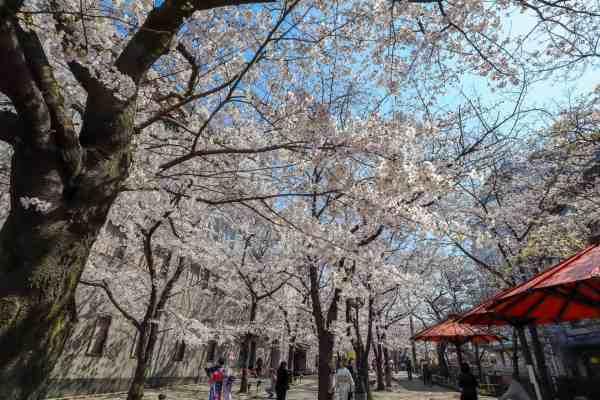 gion kyoto cherry blossom