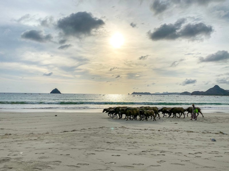 water buffalo on Selong Belank Beach   Lombok itinerary