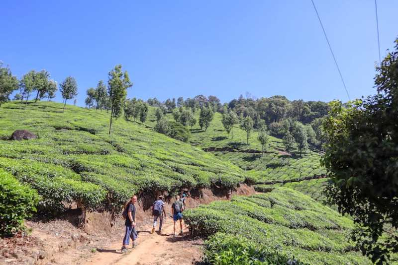Tea Plantations in Munnar Kerala