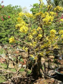 """These stylish bonsai shrubs were among the """"must haves"""" in Hanoi that Tet"""