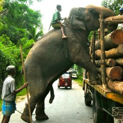 Voila! Elephant, and a couple of tonnes of log step silently onto the bed of the truck.