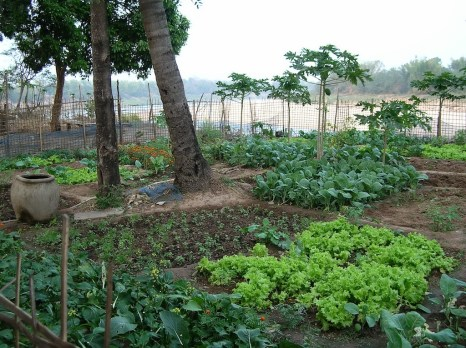 Some of the vegetable gardens high on the banks of the Mekong at Ban Lahanam Thong village, Lao.