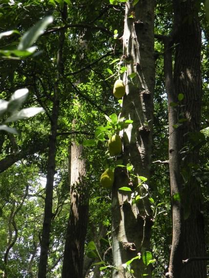 Jak Forest, Kurunegala