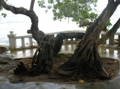 This tree withstood the Tsunami