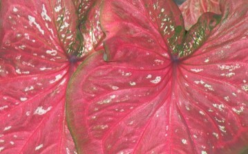 Red leaf white speckles