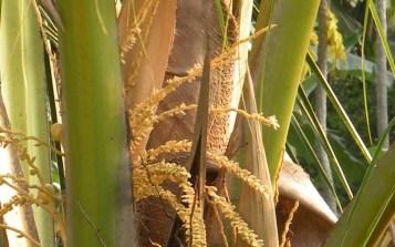 Coconut Flowers 2