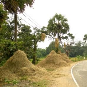 Roadside threshing piles, Vavuniya