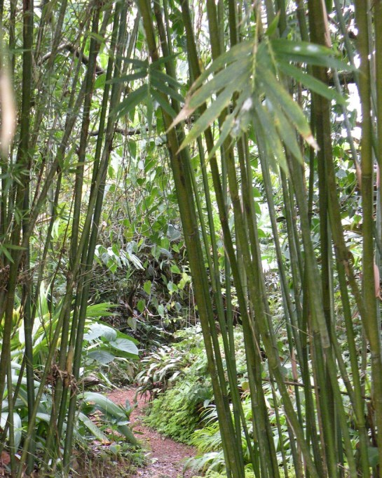 Always a pathway, through the bamboo